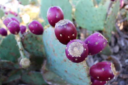 october-prickly-pear